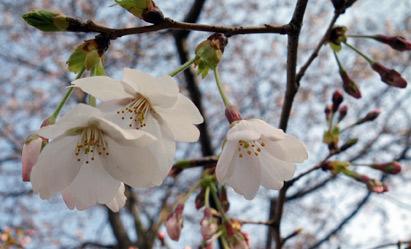 桜はまだ三分咲き