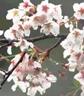 散りはじめの桜